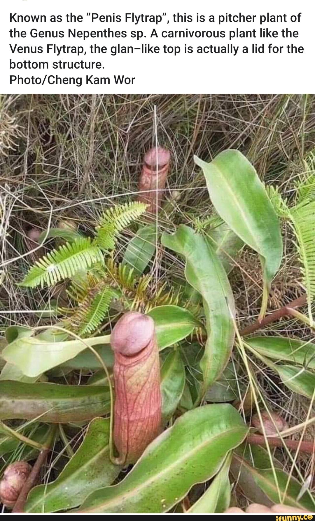 Pitcher plant or penis flytrap