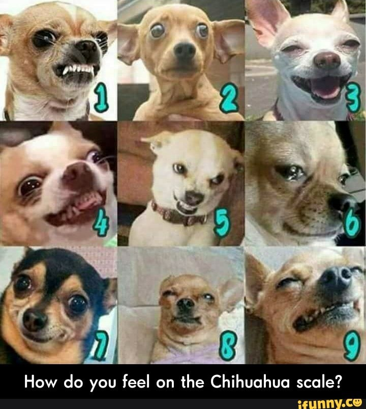 How Do You Feel On The Chihuahua Scale How Do You Feel On The Chihuahua Scale Ifunny