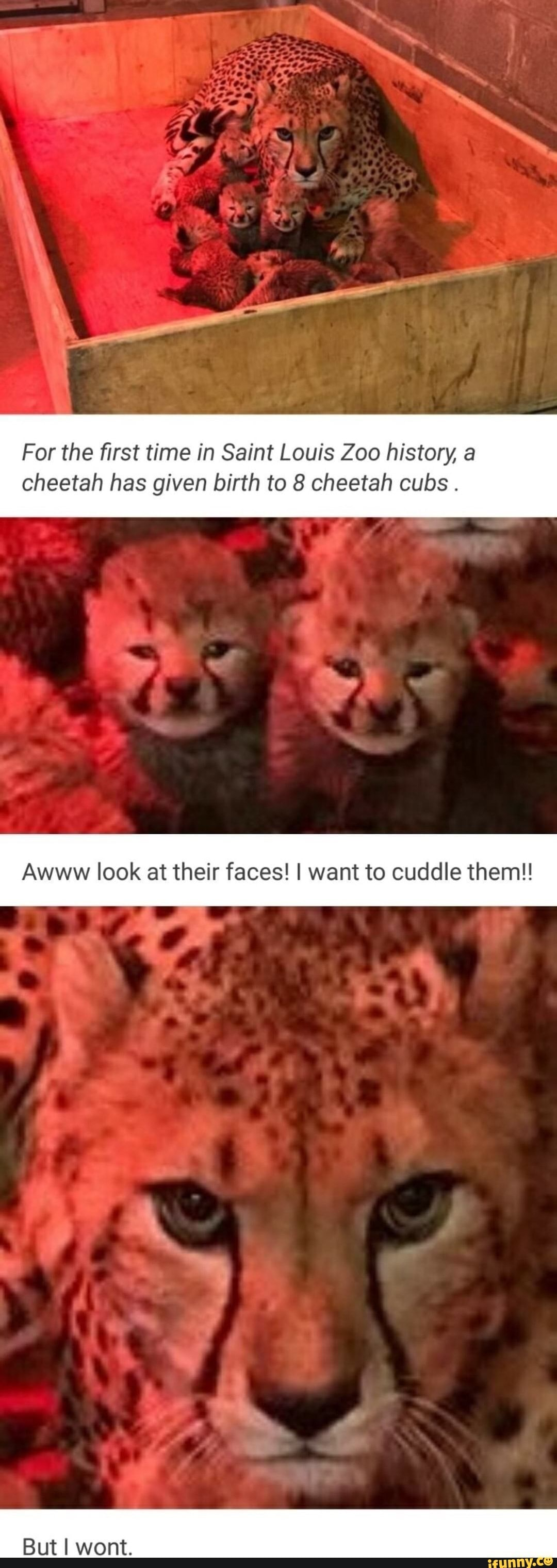For The First Time In Saint Louis Zoo History A Cheetah Has Given Birth To 8 Cheetah Cubs Awww Look At Their Faces I Want To Cuddle Them Ifunny